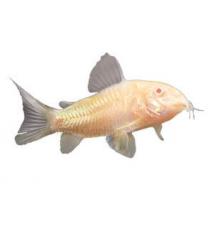 Albino Cory Catfish PetSmart