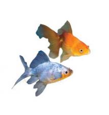 Fantail Goldfish PetSmart