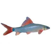 Rainbow Shark PetSmart