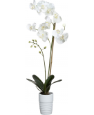 Potted Phalaenopsis White Orch..